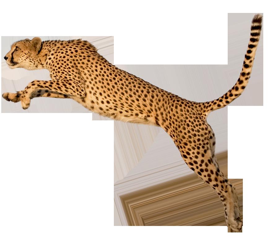 Gepard im Sprung